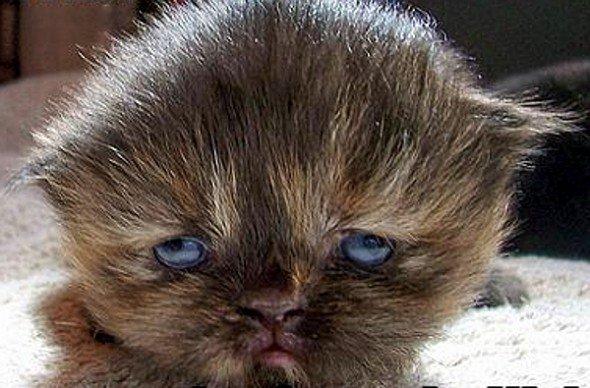 Gambar Kucing Wajah Aneh
