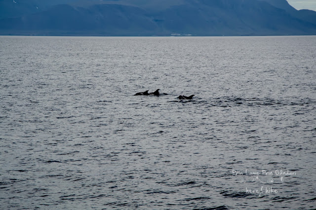 honeymoon-iceland-whale-dolphins swimming