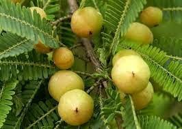 Emblica officinalis, pianta componente del Triphala