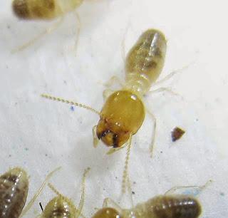 Hypotermes termites
