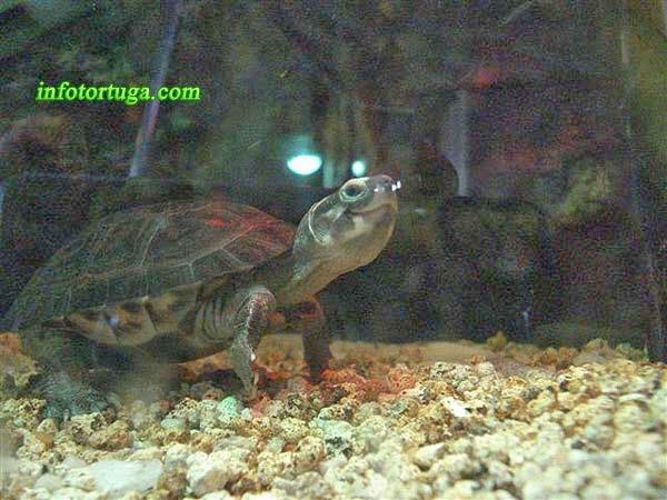 Siebenrockiella crassicollis en su acuario