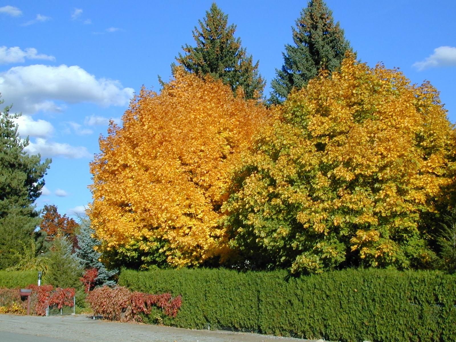 Trees of santa cruz county acer platanoides norway maple - Arce platanoide ...