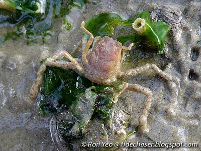 Leaf Porter Crab (Neodorripe callida)