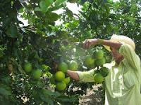 excelentre produccion de naranjas el 2011