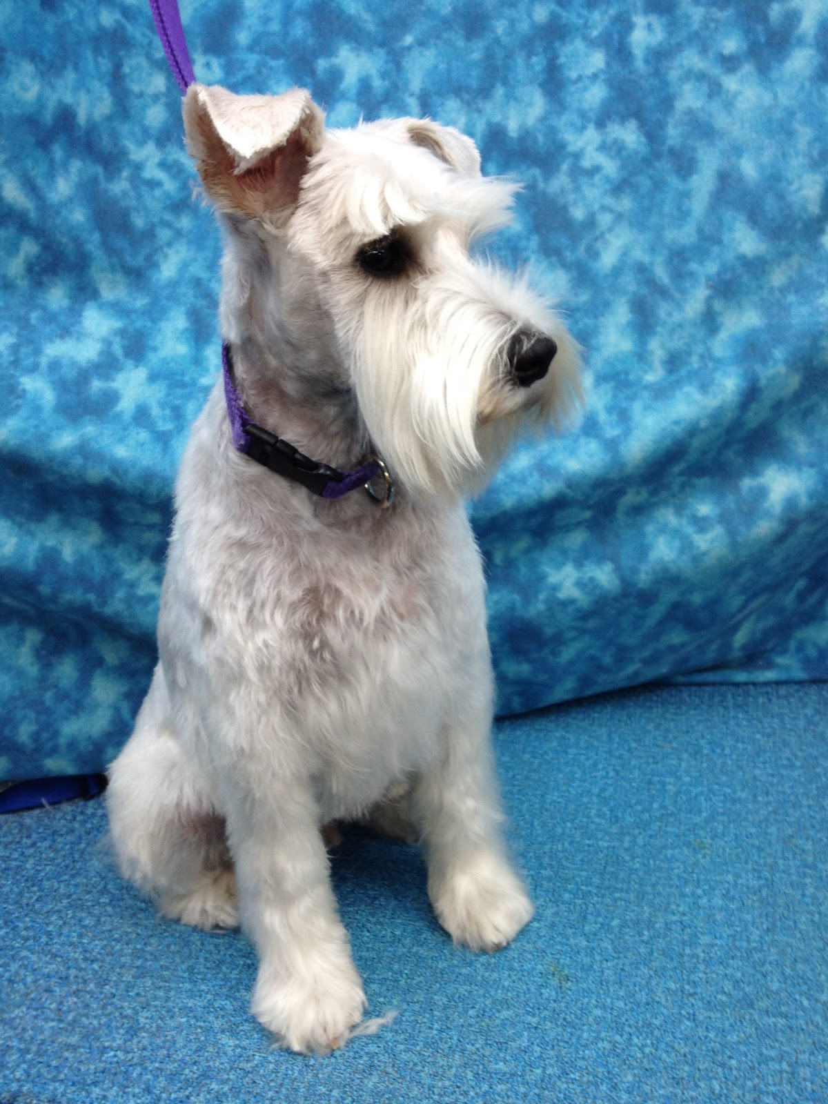 GROOMING NEEDS OF THE MINIATURE SCHNAUZER | BBird\'s GroomBlog