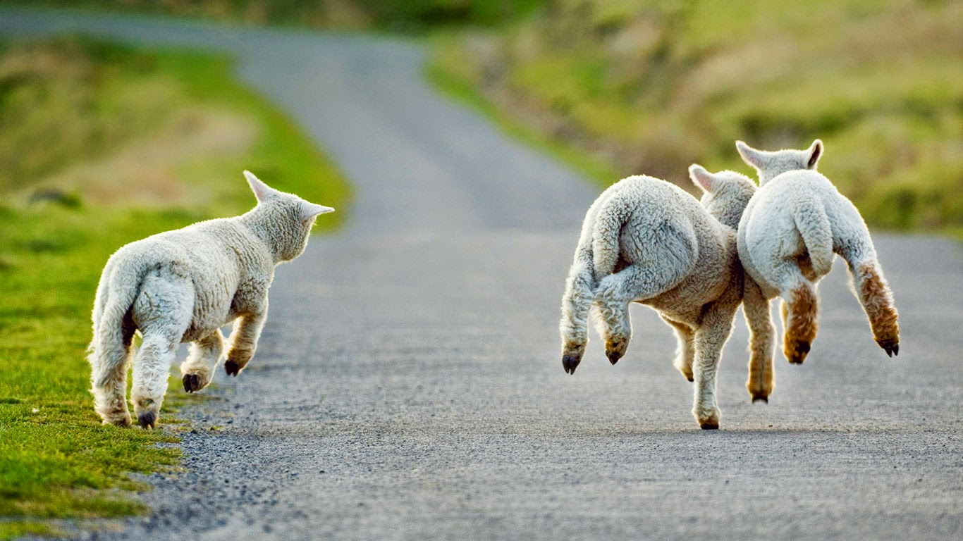 Lambs frolicking in Christchurch, New Zealand (© Andrew Walmsley/Alamy) 489