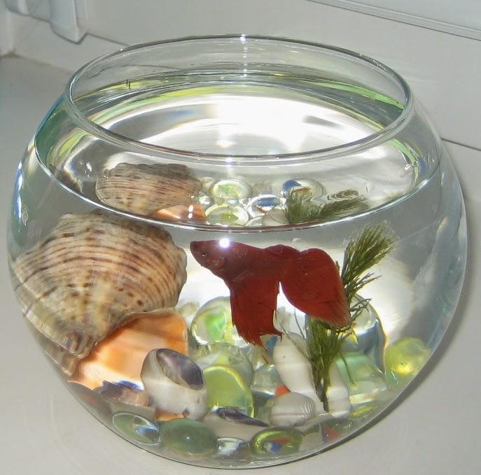 Как ухаживать за рыбкой петушок в домашних  622