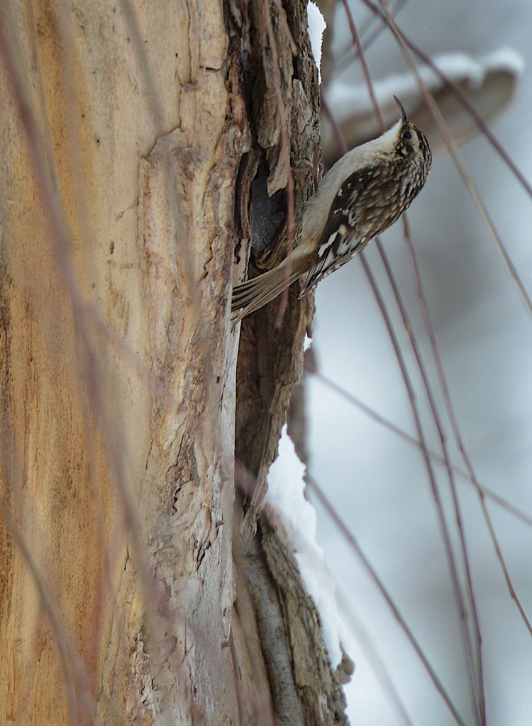Brown Creeper (Certhia americana) climbing up a Weeping Willow Tree in our backyard.