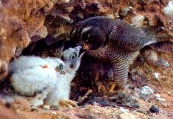 Halcón dando de comer a sus crias