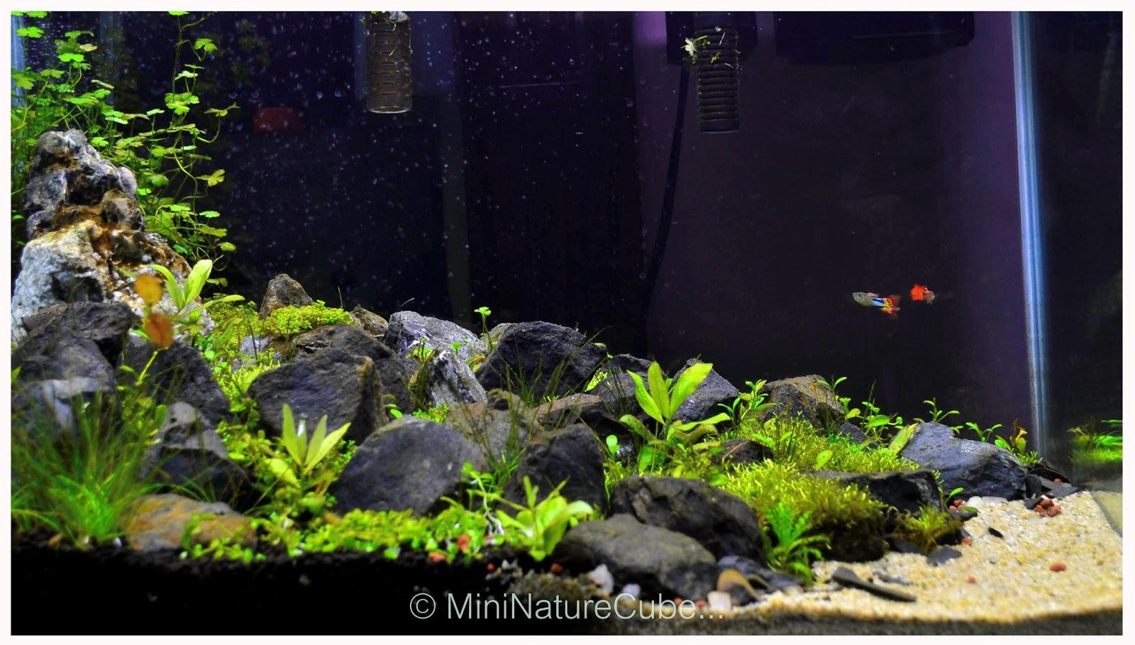 Photo shoot of my new iwagumi planted aquarium the for Plante aquarium
