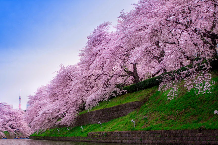The Most Beautiful Japanese Cherry Blossom