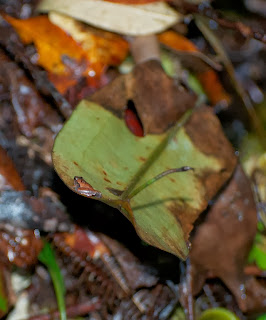 Matang Narrow-mouthed Frog (Microhyla nepenthicola)
