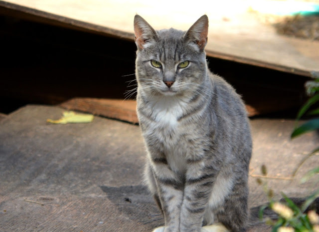 Silver the tabby cat photo