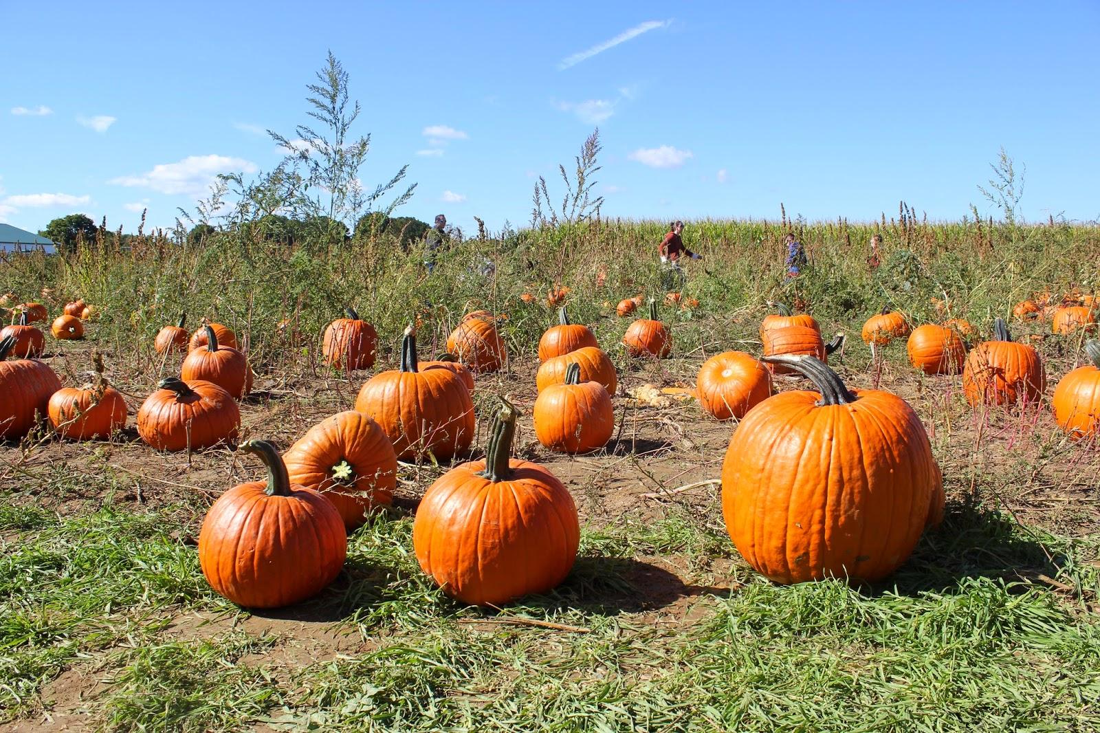 pumpkin patch near me long island