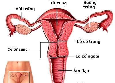 Cấu tạo hệ sinh dục nữ
