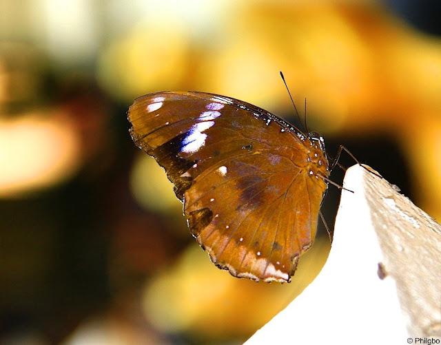 Papillon en Thailande