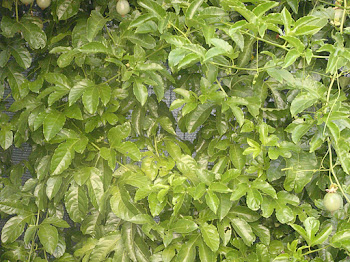 Maracuyá verde