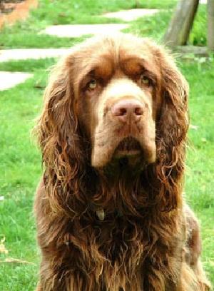 Medium-Sized Dog Breeds: Sussex Spaniel Dog Breeds