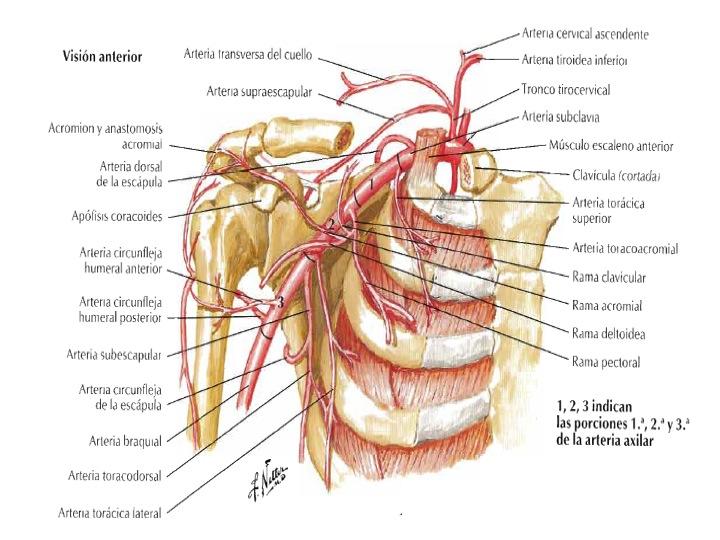 FCM-UNAH Anatomía Macroscópica: Arteria Axilar