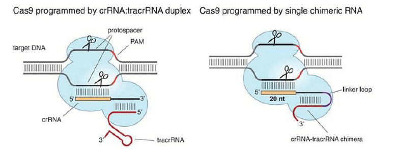 CRISPR /Cas9 Mice Models