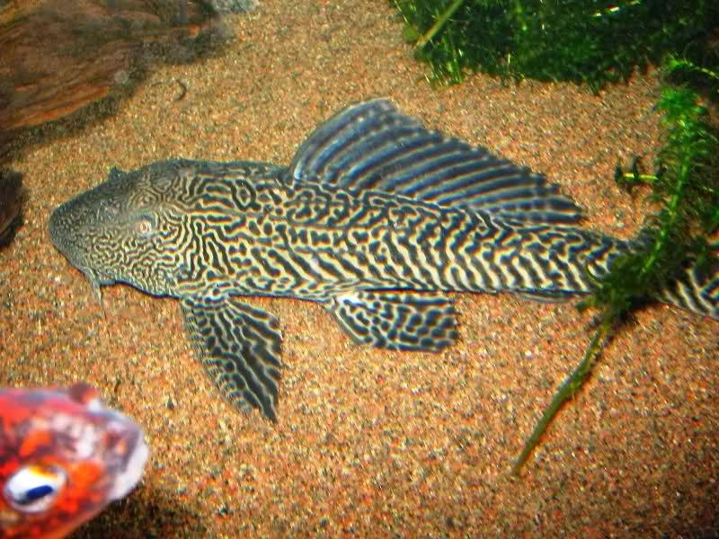 Ornamental fish aquarium for Ornamental fish tank