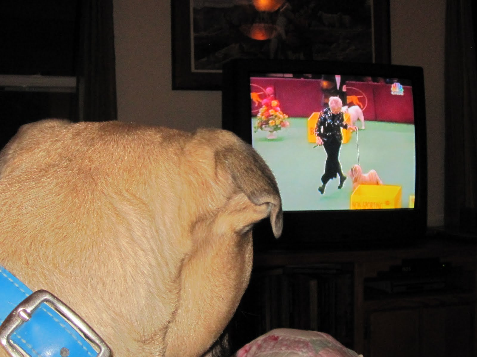 Why Isn T The Westminster Dog Show  On Usa