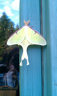 back view of a luna moth