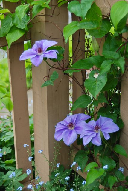 A view of my iconic blue Clematis. (See my header.)  I have long ago lost its name, of course.
