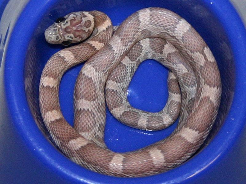 Lavender Corn Snake Lavender sunkissed corn snake