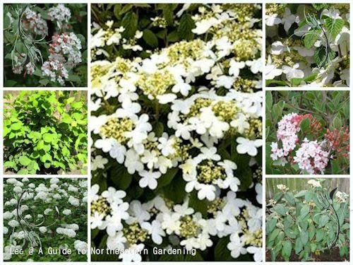 A guide to northeastern gardening feature spring flowering shrub spring has arrived and a favorite and versatile flowering shrub for the garden is viburnum there are over 150 varieties of this deciduous to semi evergreen mightylinksfo
