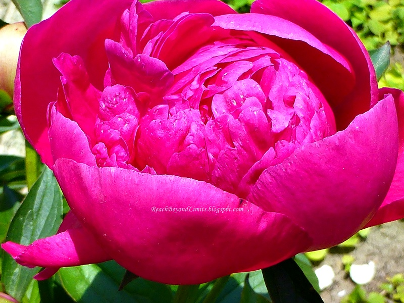 Deep pink peony flower reach beyond limits deep pink peony flower mightylinksfo