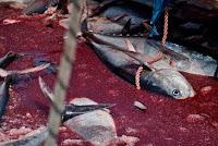 Matança de atum vermelho na Itália é investigada