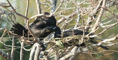 Neotropic Cormorant (Phalacrocorax olivaceus)