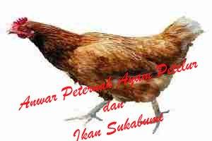 peternak ayam petelur