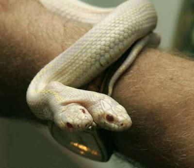 烏克蘭雙頭白蛇