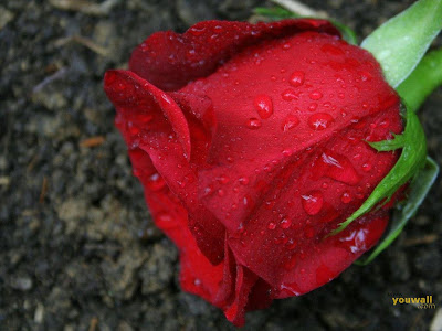Beautiful Red Rose Wallpaper Background