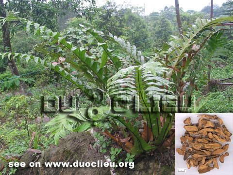 Drynaria frotunei (Kunze) J. Sm.