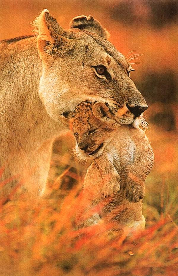 Львица, несущая малыша