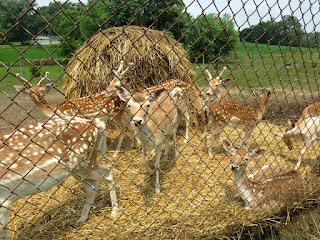 http://www.deerworlds.com/fallow-deer/