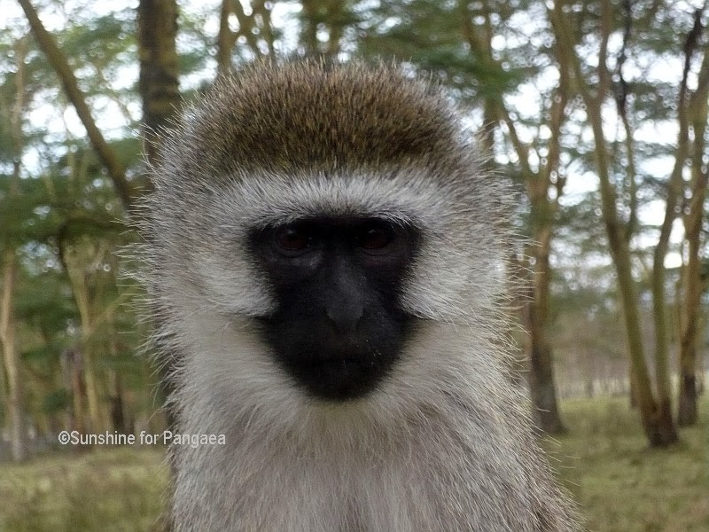 Vervet Monkey Nakuru National Park