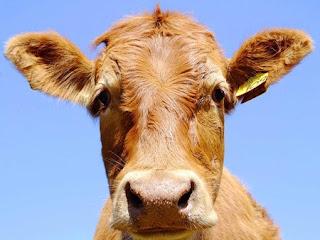 Bò Úc có hai nhóm giống chính là Bos Tarus và Bos Indicos.