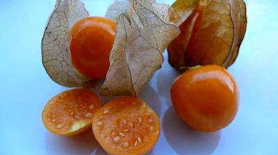 foto buah ceplukan matang pohon