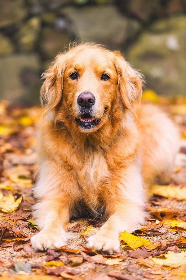 Top 6  Best Dog Breeds for Anxiety Patients