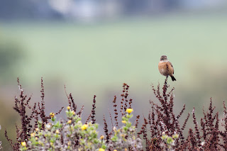 A Morning with Stonechats