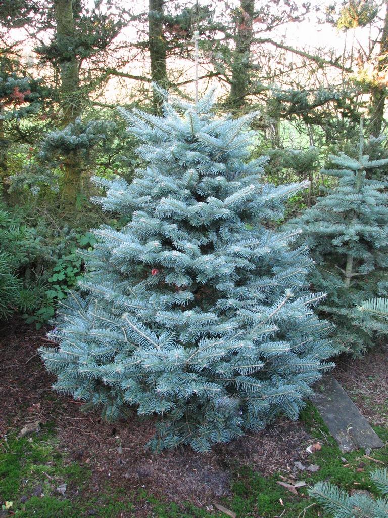 Flora Wonder Blog The Conifer Blues Part 2