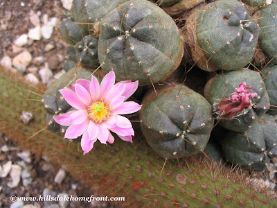 cactus flower, photography