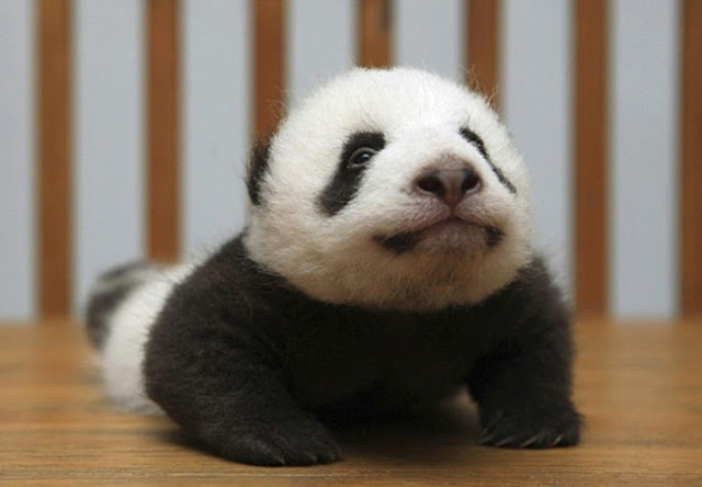 Panda cobra pose