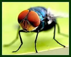 kecepatan lalat, lalat, lalat cepat, mata lalat, rahasia lalat