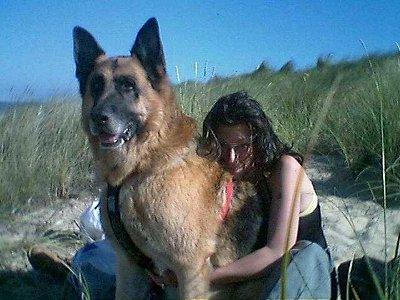 Biggest german shepherd on record german shepherd alsatian