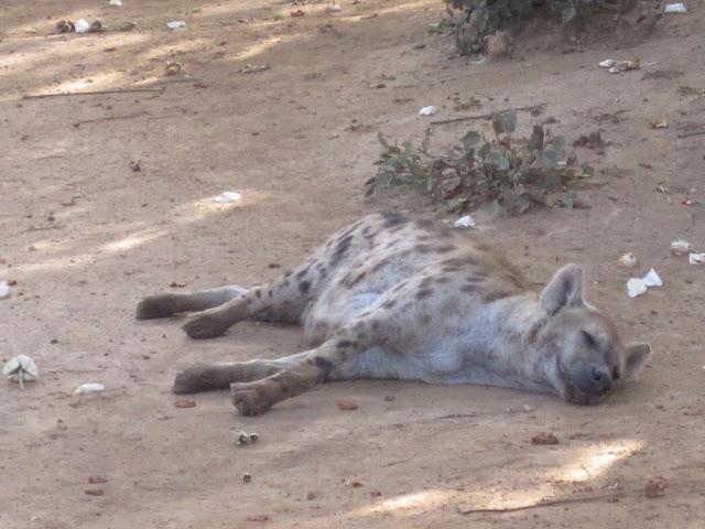 Hiena en Bandia, Senegal